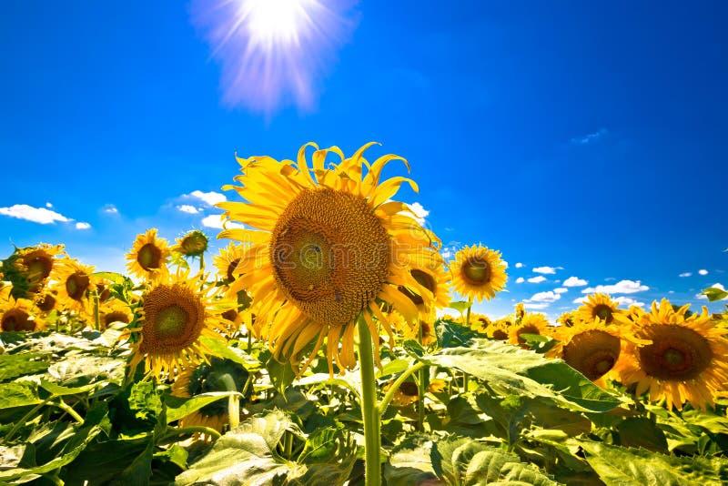 Sonnenblumenfeld unter Ansicht des blauen Himmels und der Sonne lizenzfreie stockfotografie