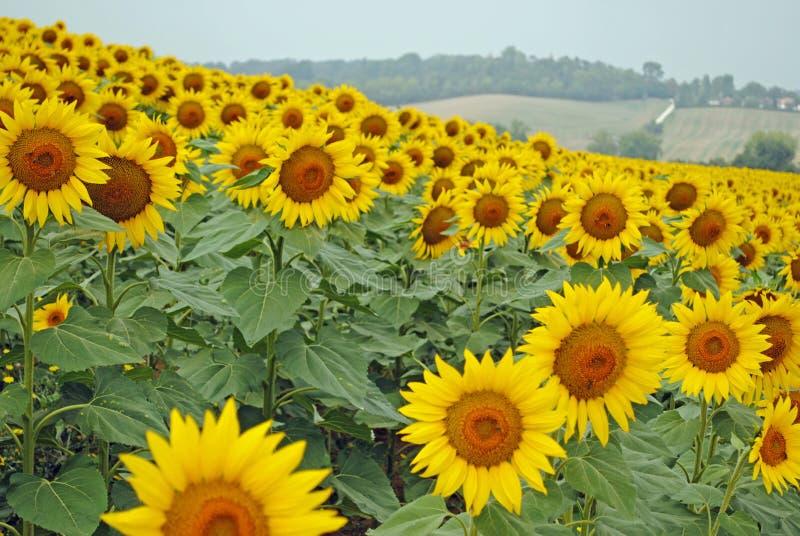 Sonnenblumenfeld in voller Blüte in der französischen Landschaft lizenzfreie stockfotos