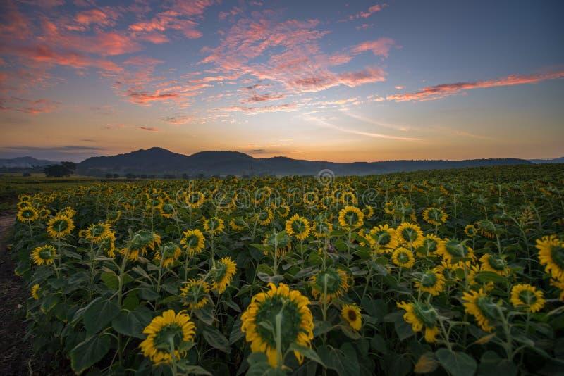 Sonnenblumenfeld während des Sonnenaufgangs lizenzfreies stockfoto