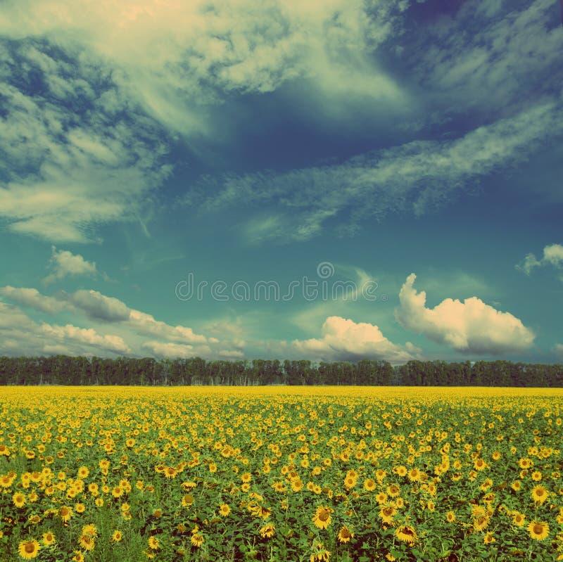 Sonnenblumenfeld - Weinleseretrostil lizenzfreies stockbild