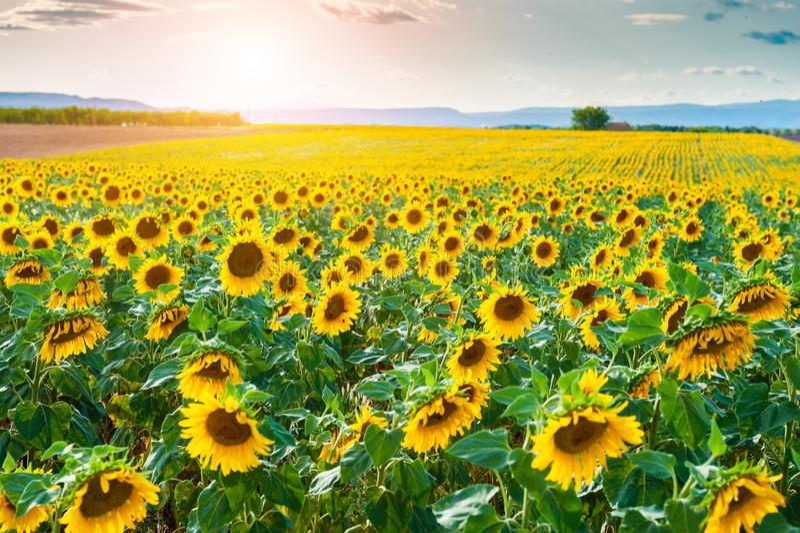 Sonnenblumenfeldlandschaft bei Sonnenuntergang in Provence, Frankreich lizenzfreies stockfoto