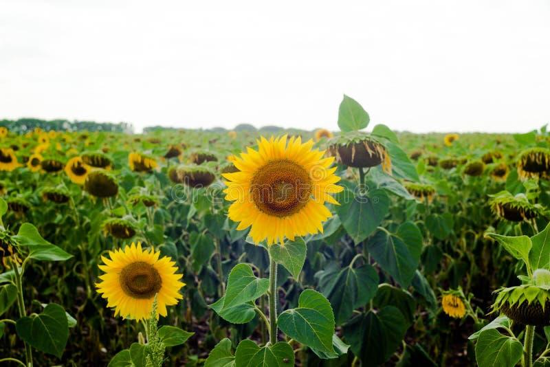Sonnenblumenfeldlandschaftssonnenblume, Wachstum, Felder, Landschaft, Landwirtschaft, Hintergrund, schön, Schönheit, Blau, freier lizenzfreies stockbild