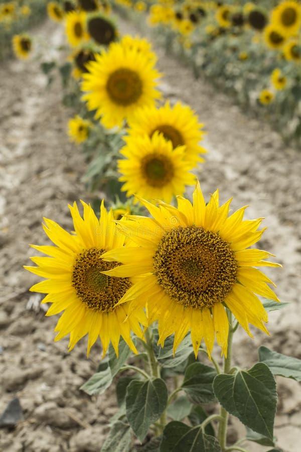 Sonnenblumenfeldlandwirtschaft lizenzfreies stockbild