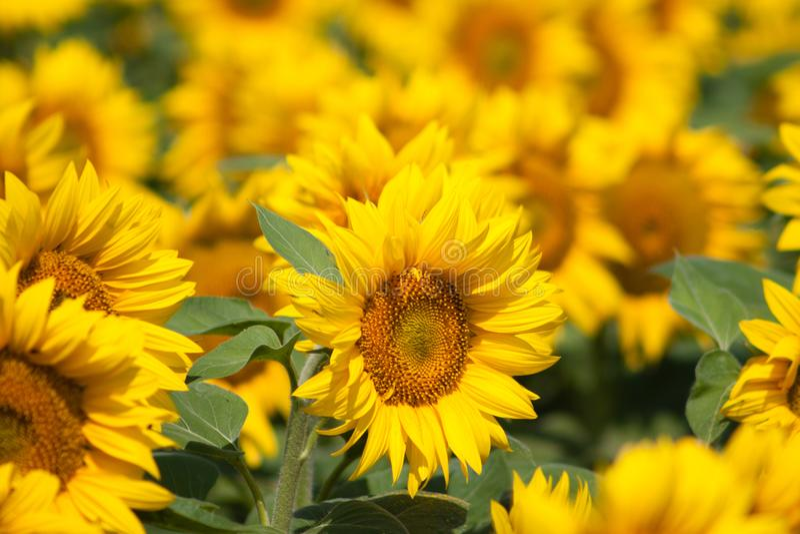 Sonnenblumengarten mit vorderem Fokus- und Unschärfehintergrund stockbild