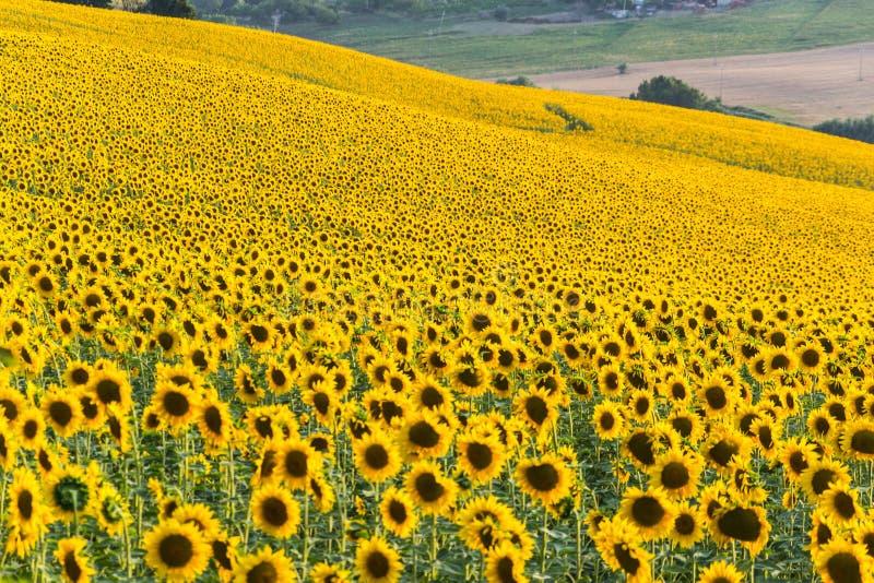 Sonnenblumenhügel in Italien lizenzfreies stockfoto