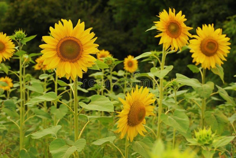 Sonnenblumenhut in einem herrlichen Sonnenuntergang lizenzfreies stockfoto
