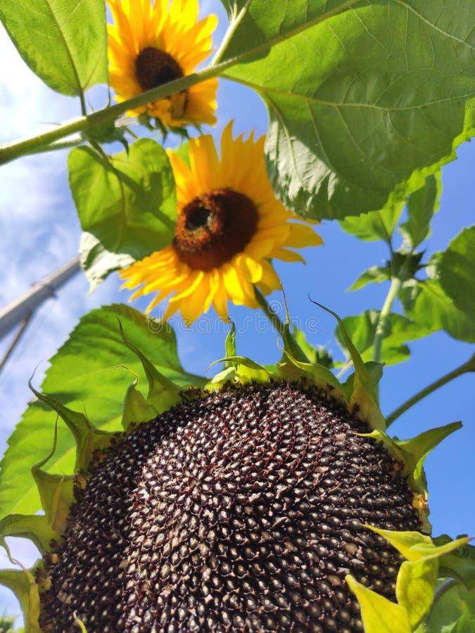 Sonnenblumenkerne stockfotografie