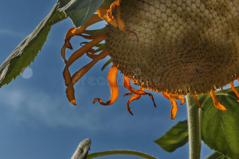 Sonnenblumenkopf gegen den Himmel stockfotografie