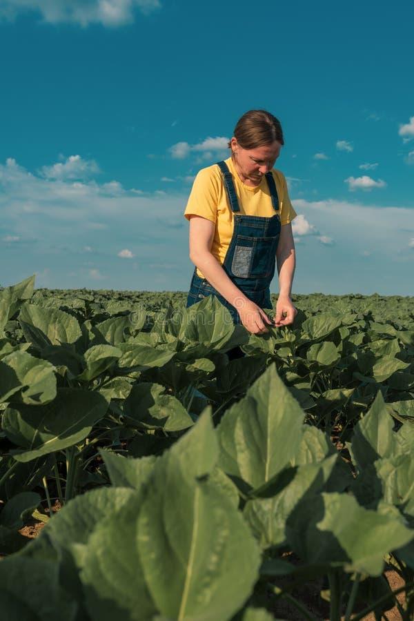 Sonnenblumenlandwirt, der oben auf Ernteentwicklung auf dem Gebiet überprüft lizenzfreies stockbild