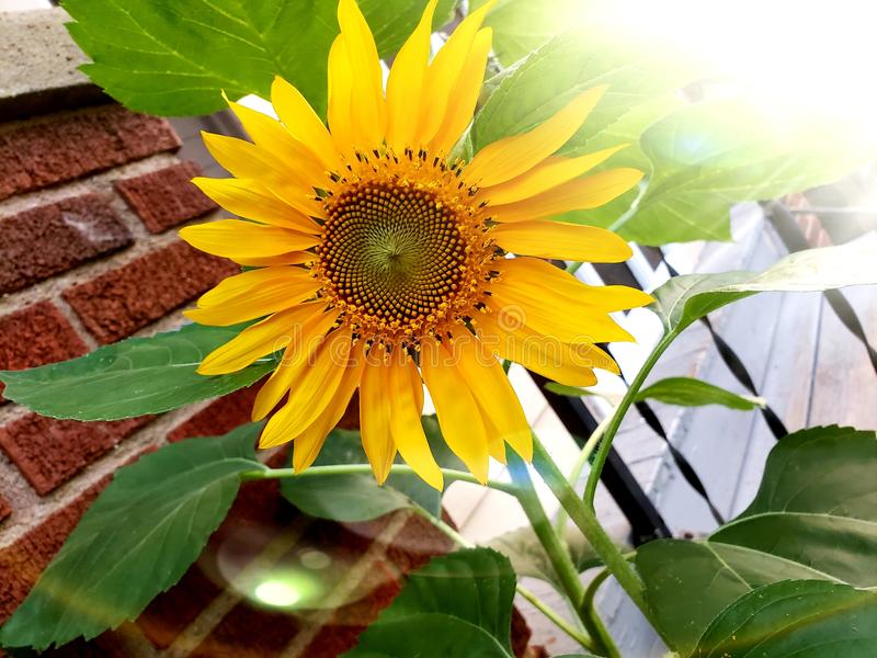 Sonnenblumenliebe stockfotos