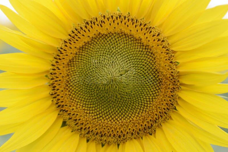 Sonnenblumennahaufnahme stockfotos