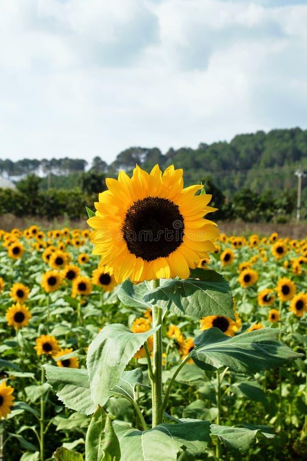 Sonnenblumennahaufnahme auf einem Feld auf einem Hintergrund von Gärten und von Gewächshäusern stockfoto
