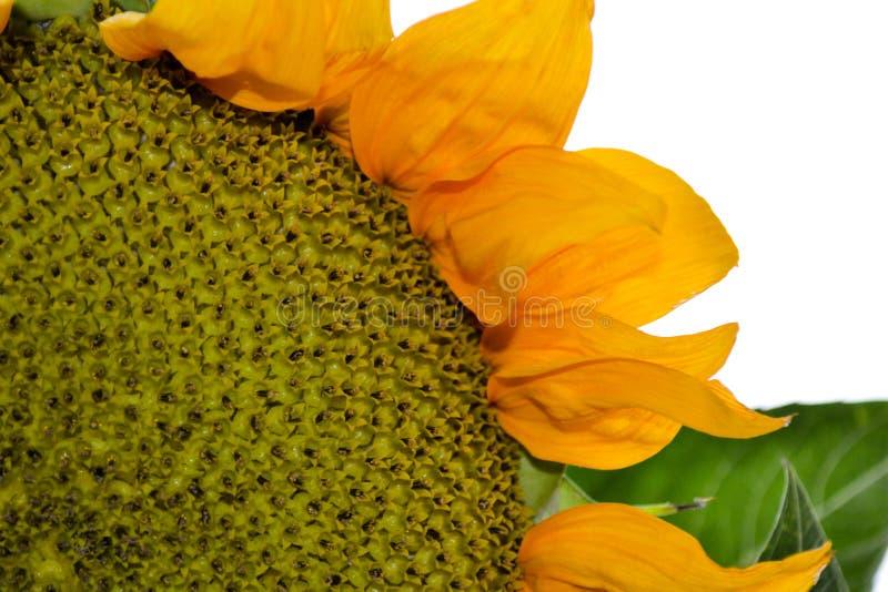 Sonnenblumennahaufnahme mit weißem Hintergrund 2 stockbilder