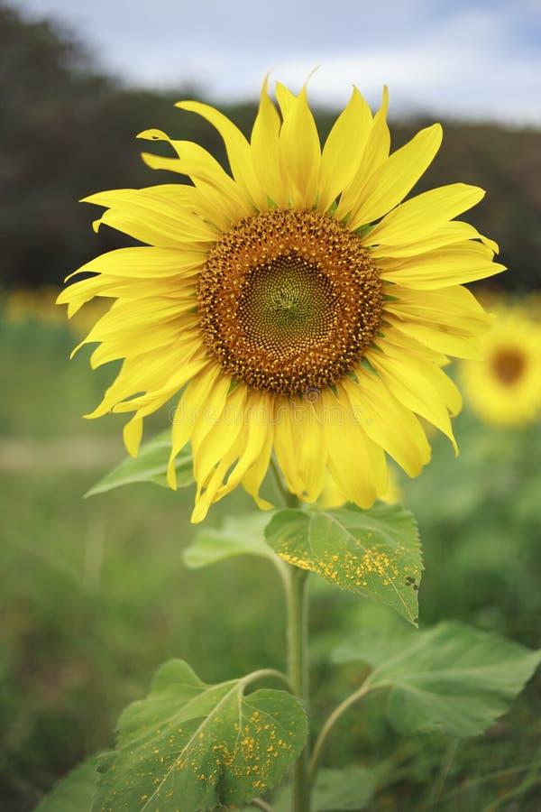 Sonnenblumenporträt mit Unschärfeweidelandschaft lizenzfreie stockfotos