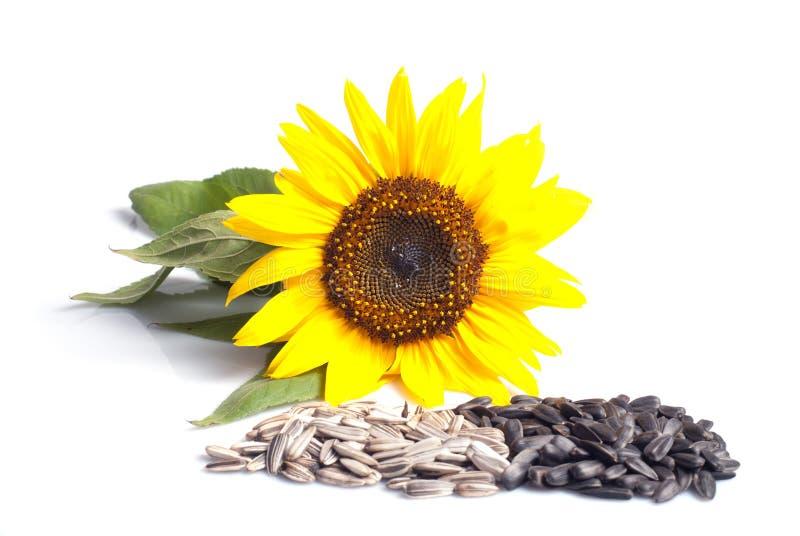 Sonnenblumensamen stockfotografie