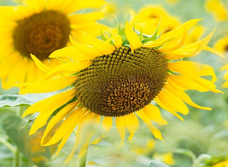 Sonnenblumensamen in der frischen Sonnenblume, die im Biogarten, pflanzliches Lebensmittel für Gesundheit heranwächst lizenzfreies stockbild