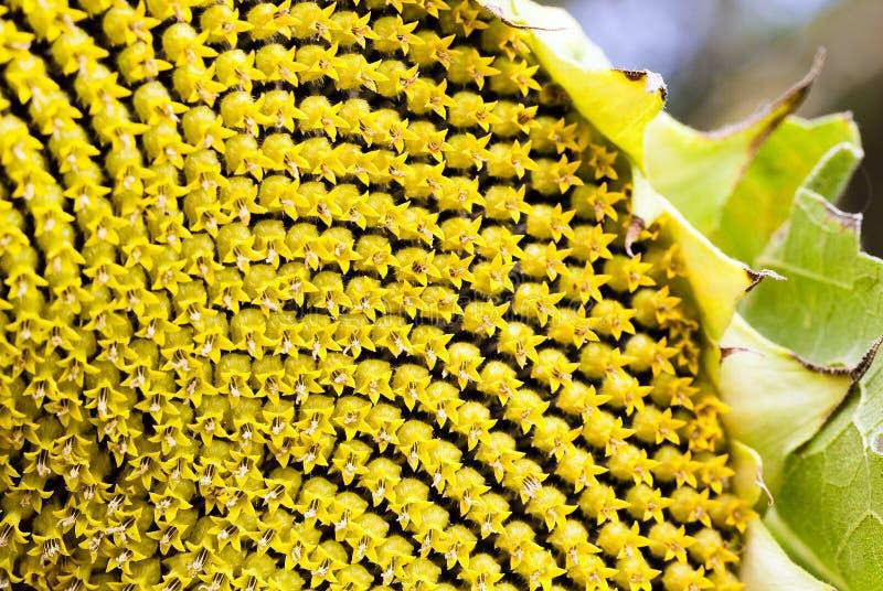 Sonnenblumensamen, Korolla stockfotografie