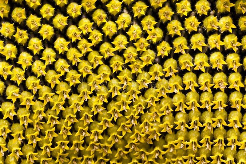 Sonnenblumensamen, Korolla lizenzfreie stockbilder