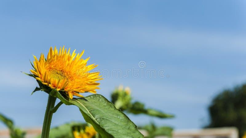 Sonnenblumenshow lizenzfreie stockfotos