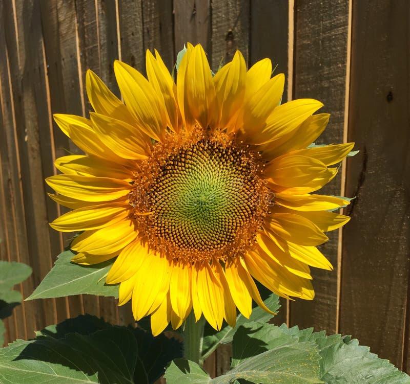 Sonnenblumensommer 2017 stockbild