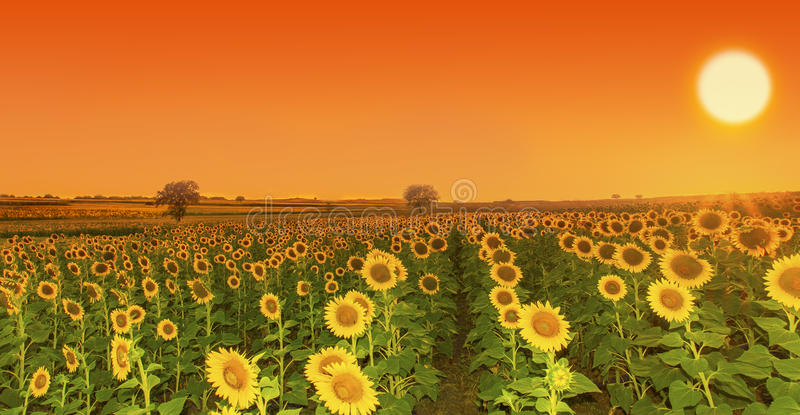 Sonnenblumensonnenuntergang stockfotos