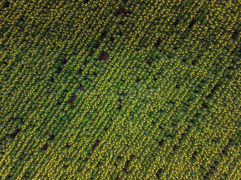 Sonnenblumenvogelperspektive lizenzfreies stockbild