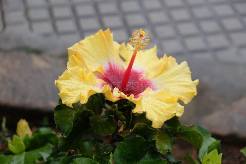 Sonnendurchbruch-Hibiscus stockfoto