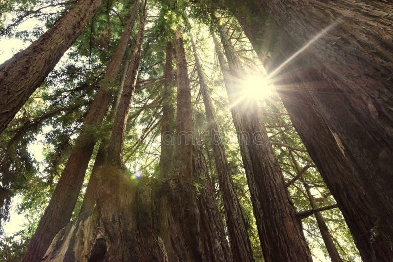 Sonnendurchbruchsonnenschein in eine Waldung von Rotholzbäumen im Rotholz-Nationalpark stockbild