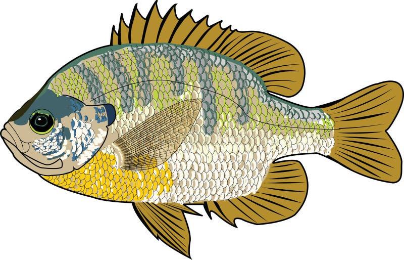Sonnenfischfische stockbild