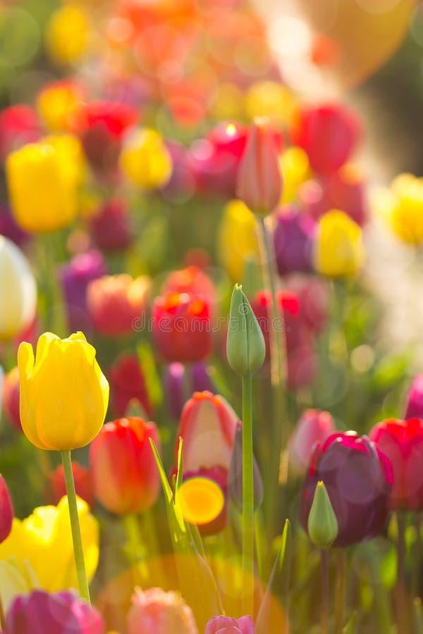 Sonnenlicht auf Feldern von Tulpen-Blumen stockfotos