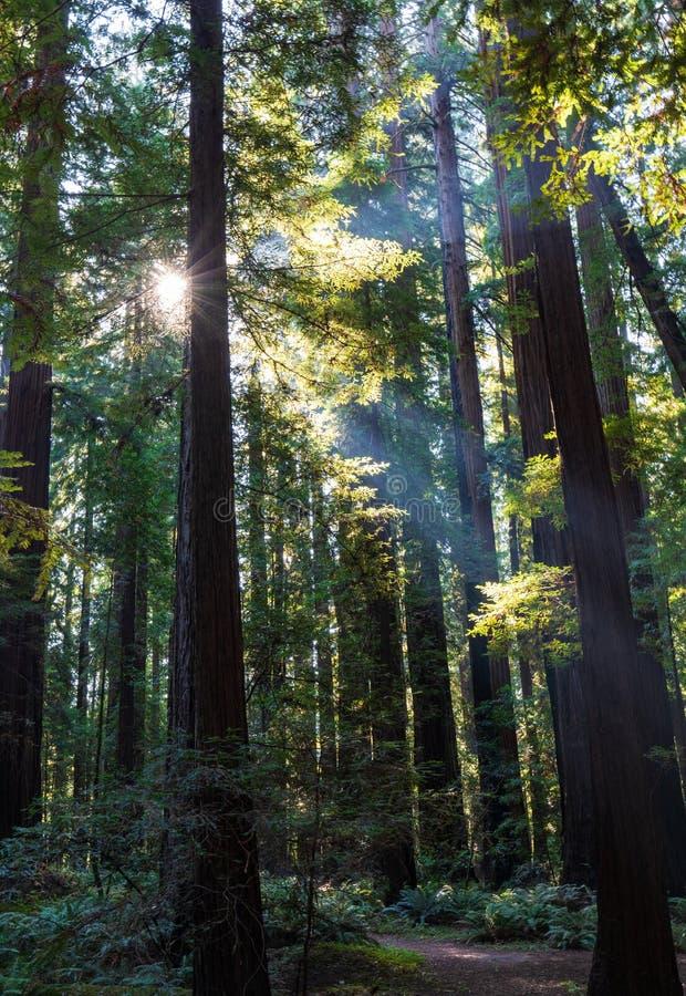 Sonnenlicht, das durch den Kalifornien-Rotholzwald weg sich reflektiert vom Nebel kommt stockfotos
