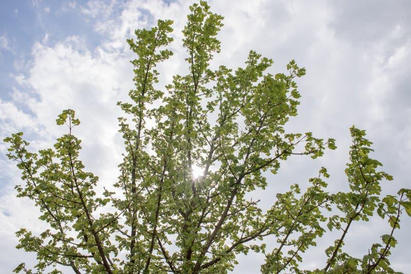 Sonnenlicht, das durch Niederlassungen und Blätter der Baum-Unterlassung blickt stockbild