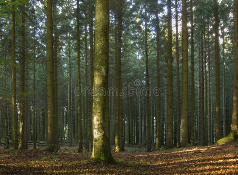 Sonnenlicht im Buchenholz lizenzfreies stockfoto