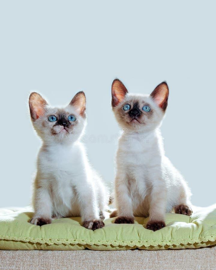 Sonnenlichtfenster-Sonne jokey zwei der blauen Augen des thailändischen des Katzenhaustieres des Katze pelage Zuchtkätzchens klei stockfotos
