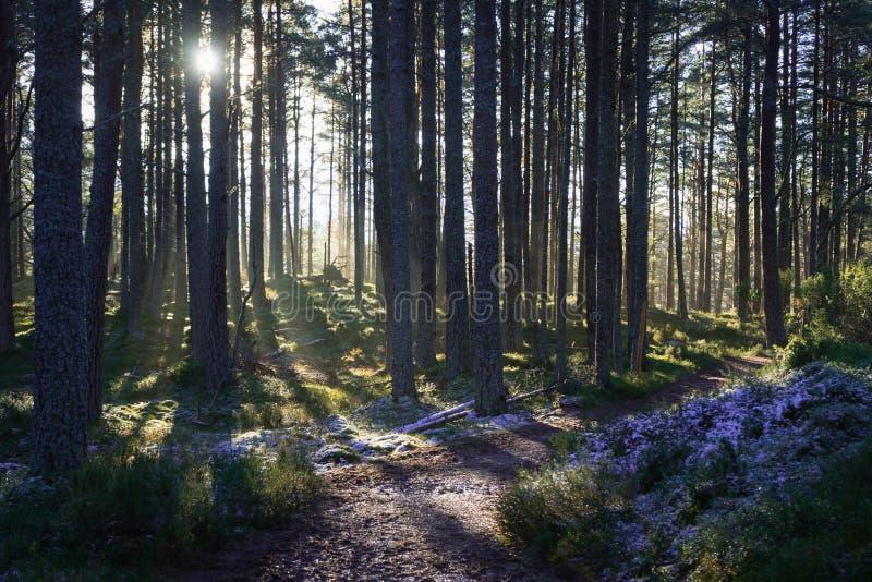 Sonnenschein, der durch Bäume mit Frost aus den Grund lugt stockbilder
