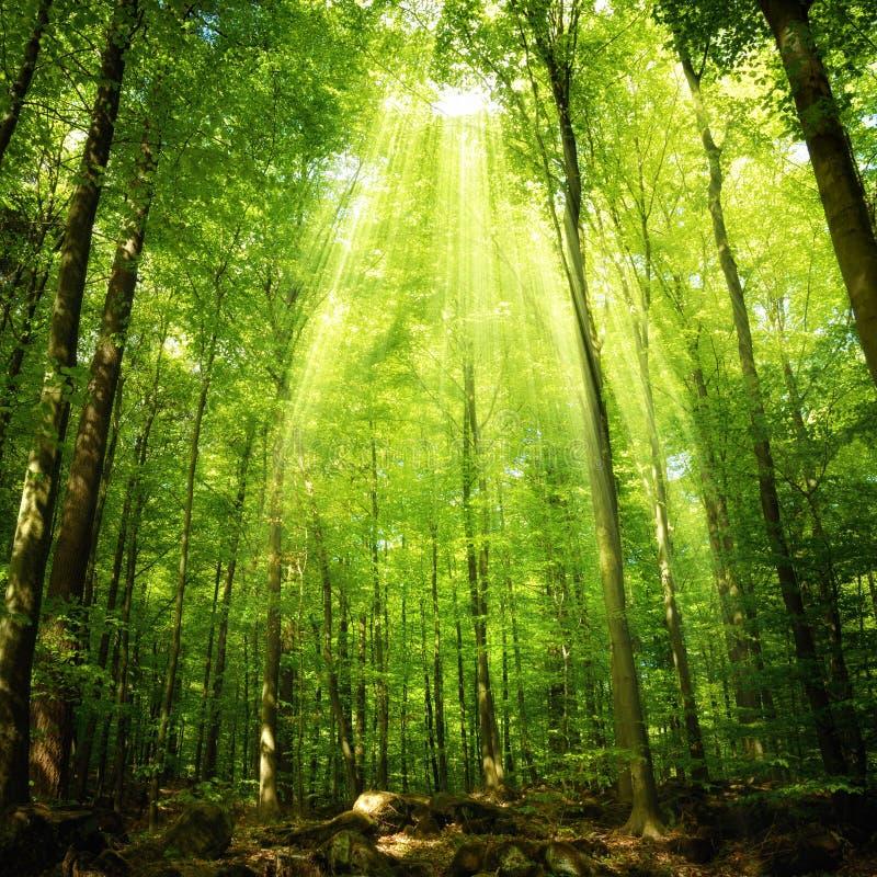 Sonnenstrahlen, die in den Wald fallen lizenzfreies stockbild