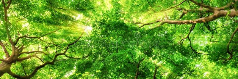Sonnenstrahlen, die durch hohe Treetops glänzen lizenzfreie stockbilder