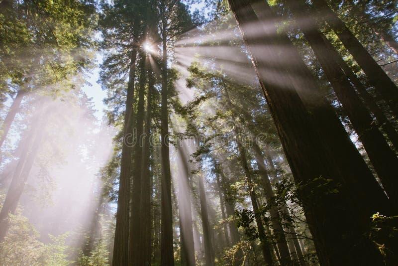 Sonnenstrahlen durch den Wald in Damenvogel Johnson-Waldung stockfotos