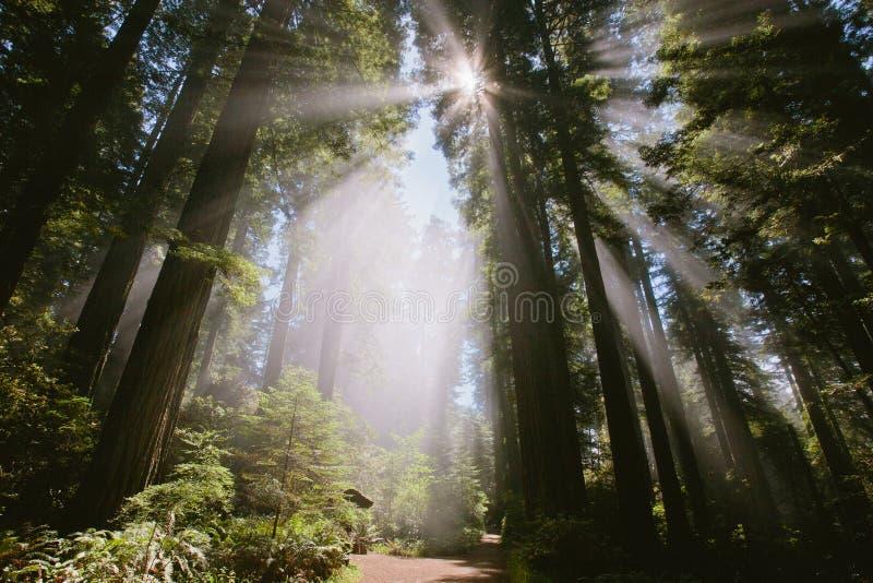 Sonnenstrahlen durch den Wald in Damenvogel Johnson-Waldung lizenzfreies stockfoto