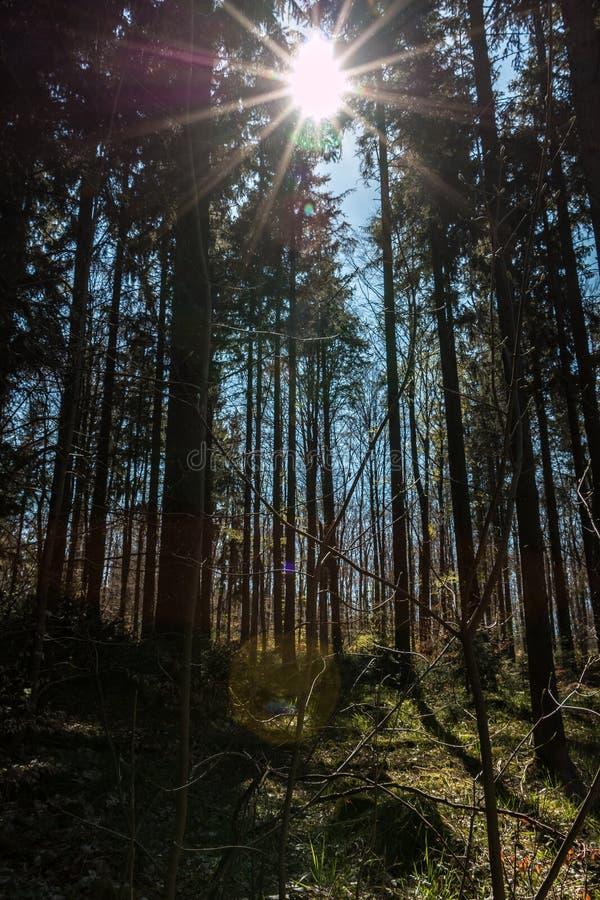 Sonnenstrahlen durch die B?ume des dunklen Waldes lizenzfreie stockbilder