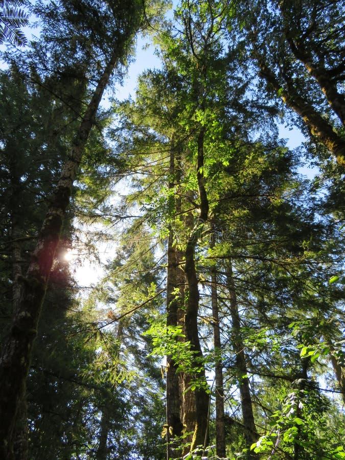 Sonnenstrahlen durch hohe Bäume stockfotografie