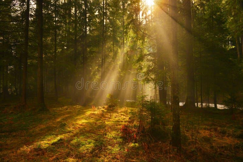 Sonnenstrahlen im tiefen Holz am Sommermorgen stockbilder