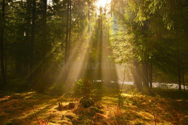 Sonnenstrahlen im tiefen Holz am Sommermorgen lizenzfreie stockbilder