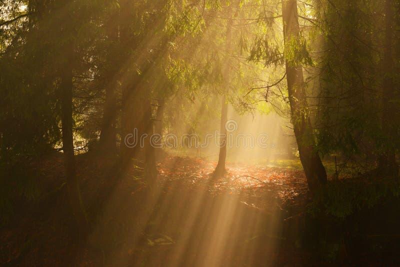 Sonnenstrahlen im tiefen Holz am Sommermorgen stockfotografie