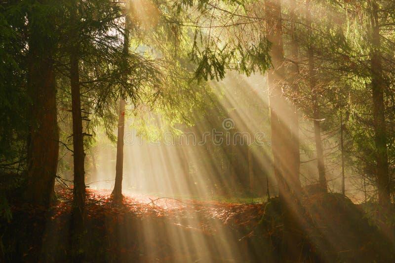 Sonnenstrahlen im tiefen Holz am Sommermorgen stockfotos