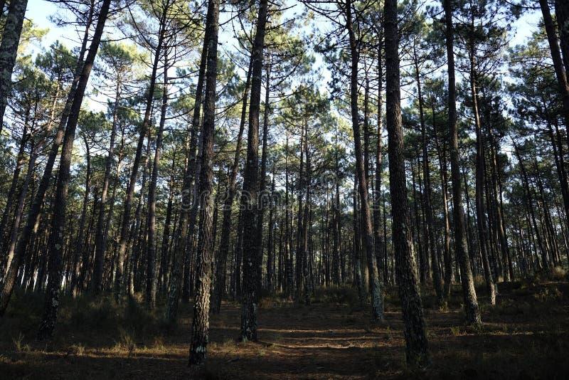 Download Sonnenstrahlen im Wald stockfoto. Bild von portugal - 106800566