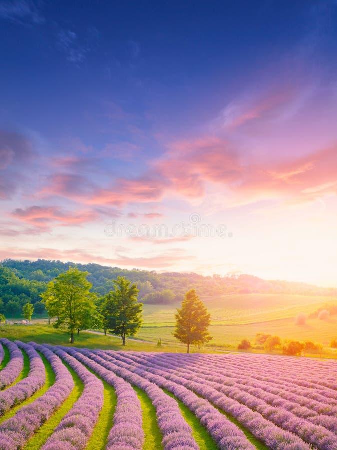 Sonnenuntergang über einem Sommerlavendelfeld stockbilder