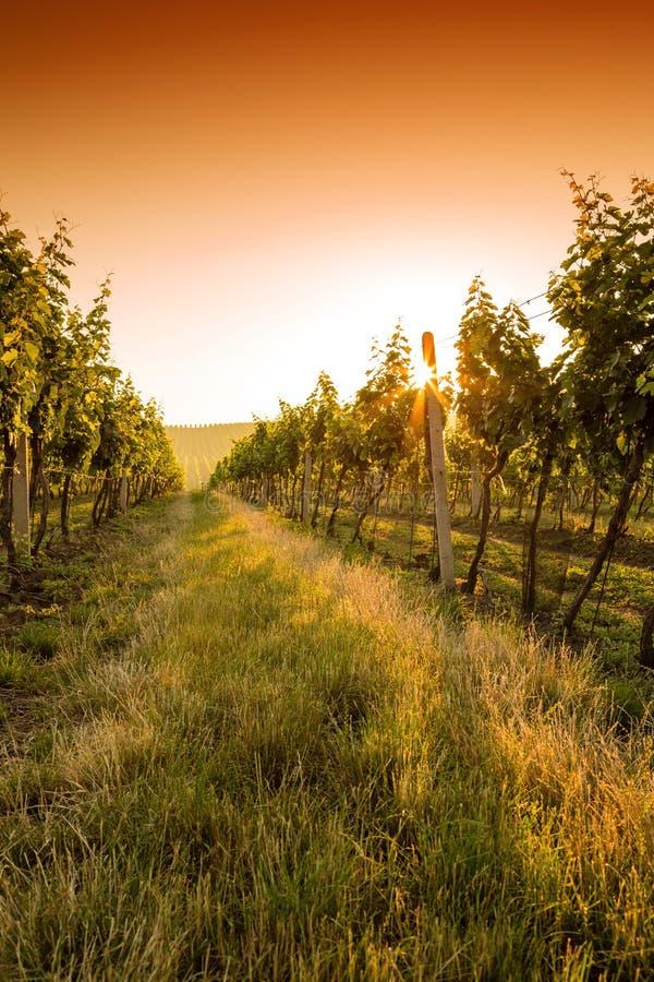 Sonnenuntergang über einem Weinberg lizenzfreie stockfotos