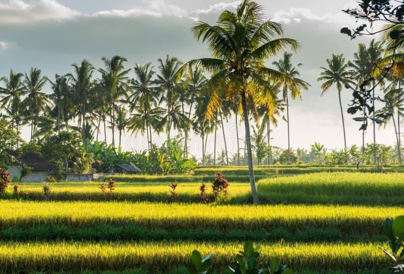 Sonnenuntergang über Reisfeld stockfotos