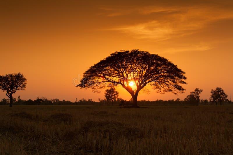 Sonnenuntergang über Reisfeld stockfoto
